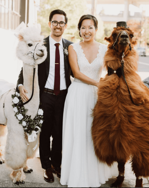 New wedding trend- renting llamas for weddings