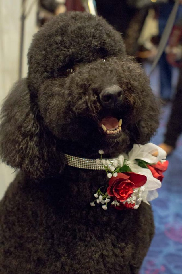 a black poodle that has diamonds and roses on its collar- cover photo for a list of the best dressed dogs at the bark ball's 30th ball.