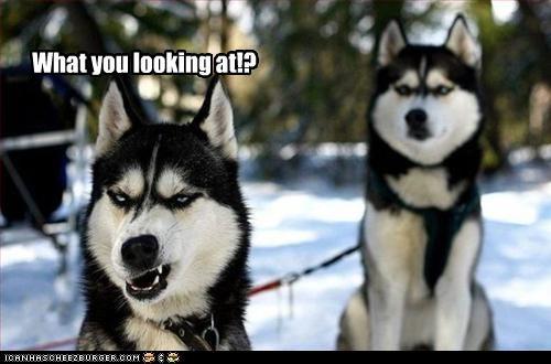 attitude,look,siberian husky,snarl