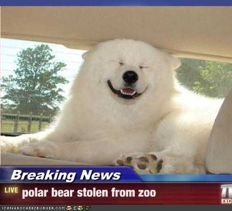 akita,Breaking News,happy,lookalike,polar bears