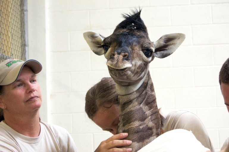 The zoo in Virginia is having a name contest for a new baby giraffe