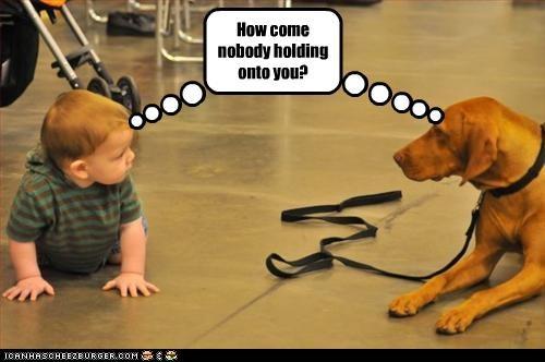 baby holding human leash vizsla - 2515180288