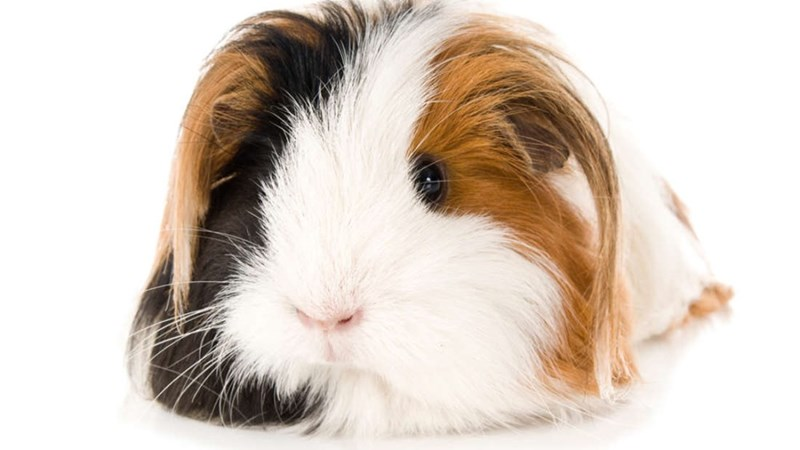 Guinea pig rescue center uses AI to name its rodents