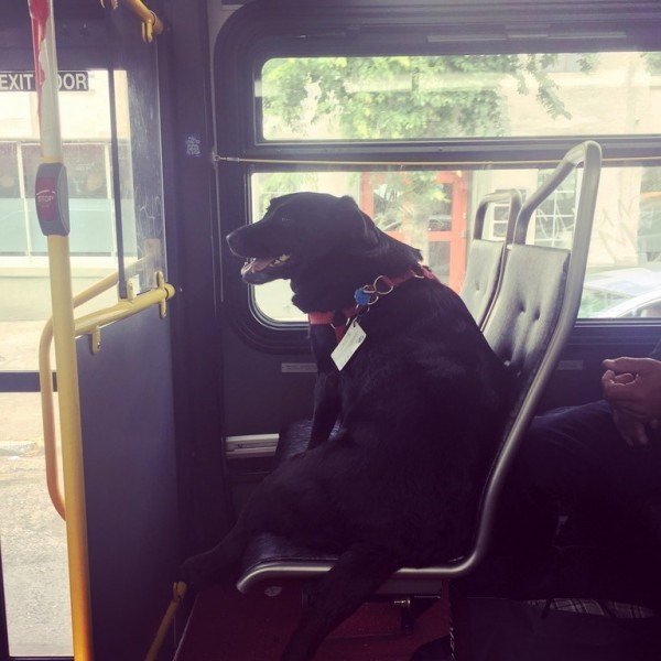 A black lab sitting like a human on the bus all by herself with her owner - cover photo for a story about a black lab named eclipse that rides the bus to the dog park all by herself