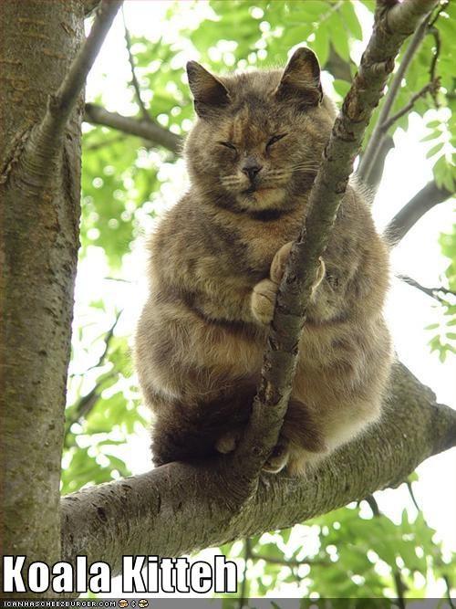 climbing koala look a like tree - 2524322560