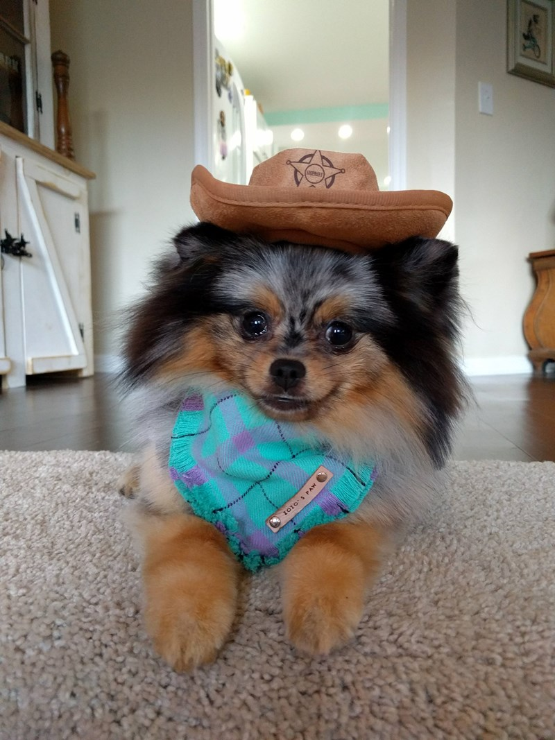 A cute puppy wearing a sheriffs hat - cover for funny photos of dogs wearing hats