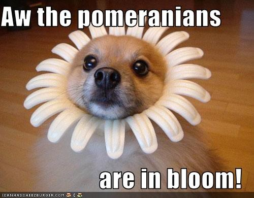 bloodhound,bloom,costume,flowers,pomeranian