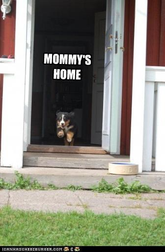 bernese mountain dog home mom mommy puppy running - 2528850944