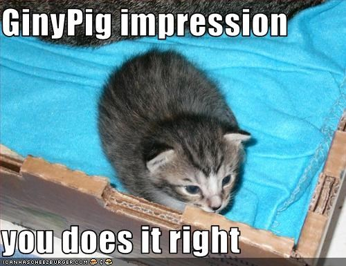 cute,guinea pig,impression,kitten,look a like