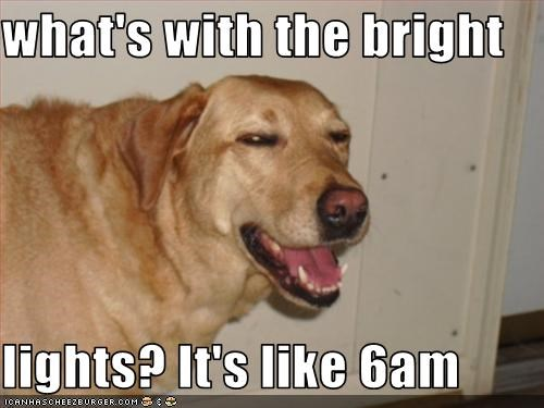 bright early labrador lights morning tired