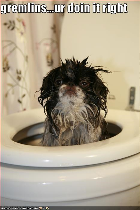 doin it rite,gremlins,shihtzu,toilet,wet