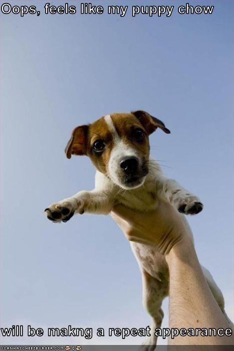 barf chow food jack russel terrier nausea puppy vomit - 2542192640