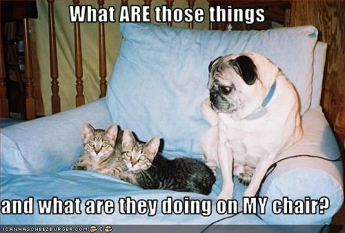 chair grumpy lolcats mine outrage pug - 2544703488