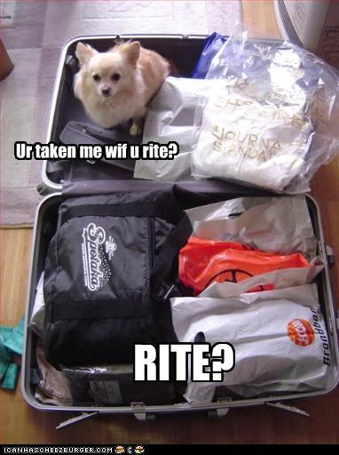 chihuahua go with packing suitcase Travel