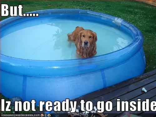golden retriever inside outside pool swimming - 2548857344