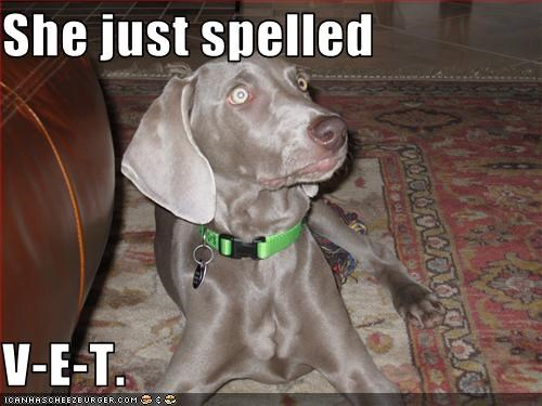 scared spelling vet weimaraner - 2548921088