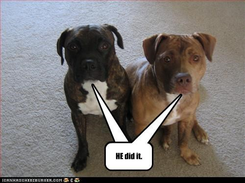 blame brothers pitbull trouble - 2549040896