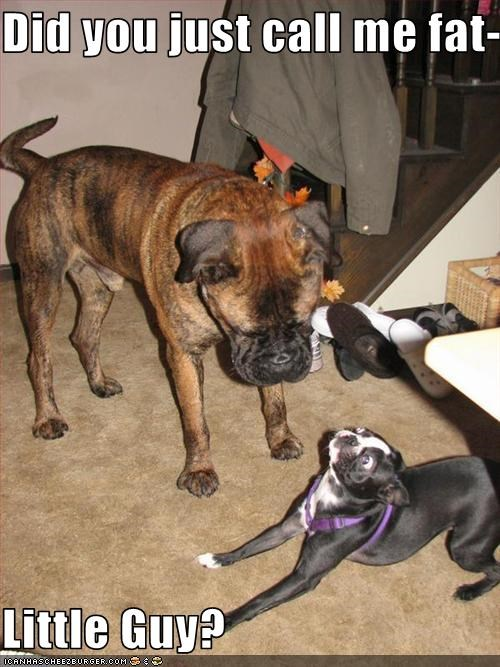boston terrier fat intimidating little whatbreed - 2549547776