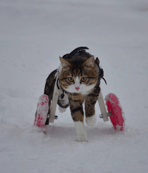A picture of a cat using a pink wheelchair in the snow - a cover photo for a story of a cat that suffers from paralysis.
