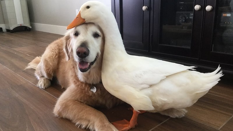 the story of a unique friendship between a dog and a duck