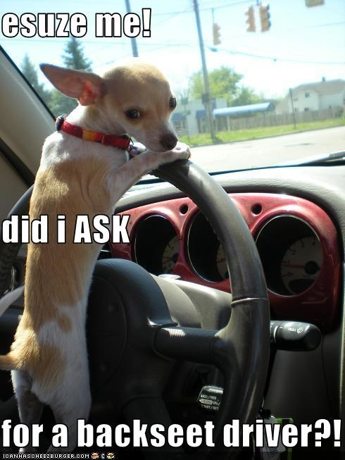 backseat,cars,chihuahua,driving,steering wheel