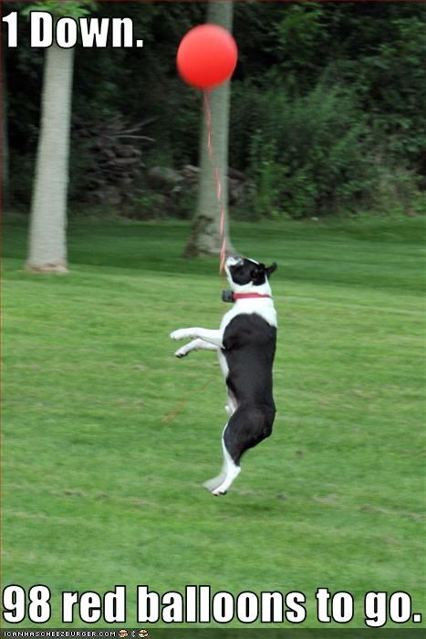 Balloons,boston terrier,jump,play,pop