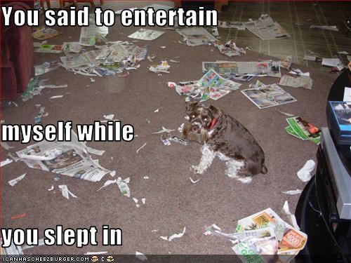 destruction,entertain,mess,newspaper,schnauzer,sleep