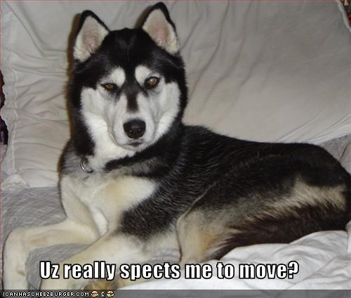 chair couch expect move siberian husky - 2561076992