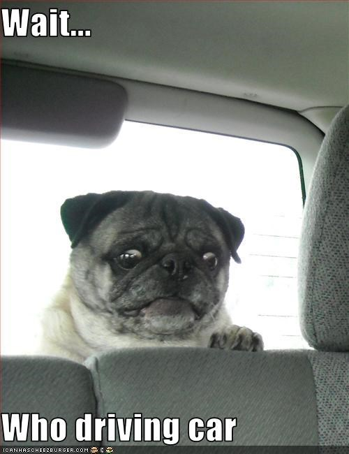 cars carseat driving pug uh oh - 2562983936