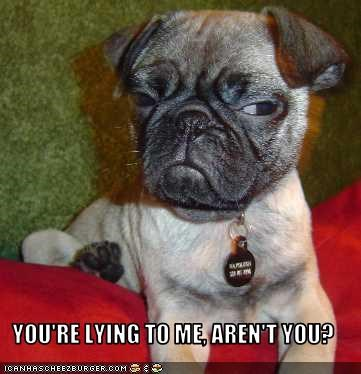 eyes lying pug suspicious - 2564763136