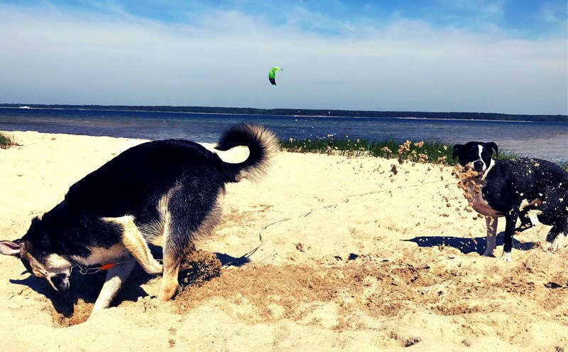 A picture of two dogs at the beach, one dog is digging a hole while the other is getting all the sad thrown in its face - cover photo for a list of funny gifs and photos on different animals being mean