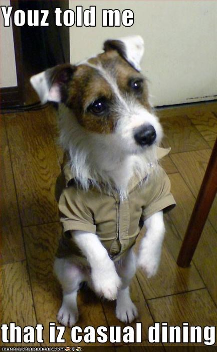casual clothing dining dressed eating food jack russel terrier - 2573978880