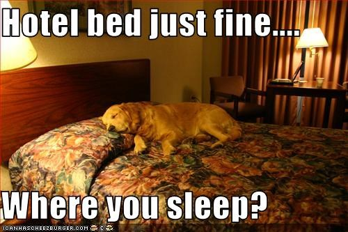 bed golden retriever greedy hog hotel sleep