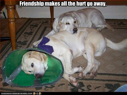 cone,friendship,help,hurt,labrador