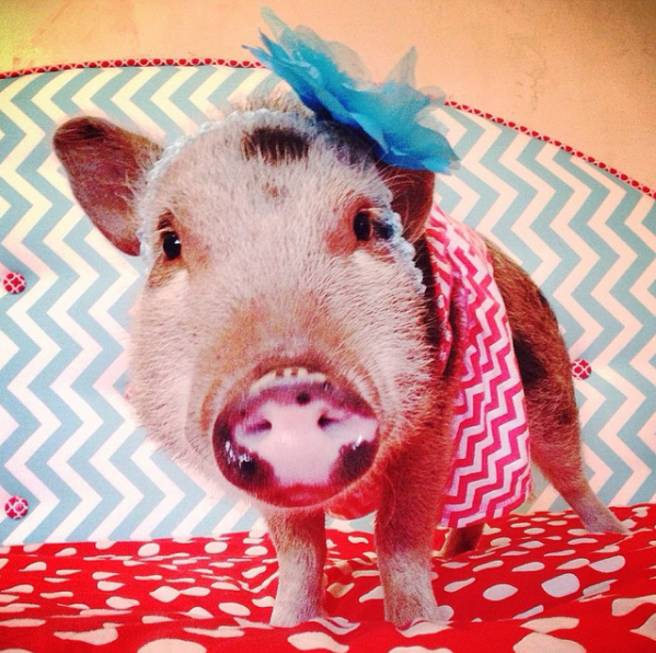 the most stylish pig on instagram