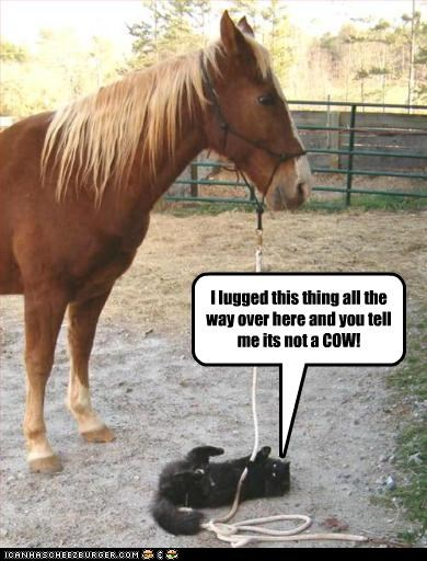 confused cow lolhorses - 2588497408
