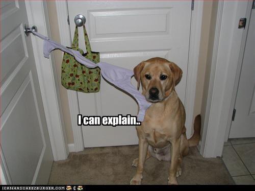 bra,doorknob,explain,hooked,labrador,stuck,trouble
