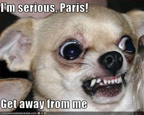 angry chihuahua little paris hilton snarl teeth tiny - 2590955008