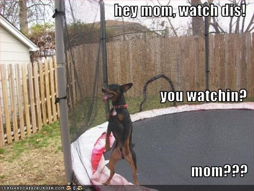 doberman pinscher mom trampoline watching - 2592901632
