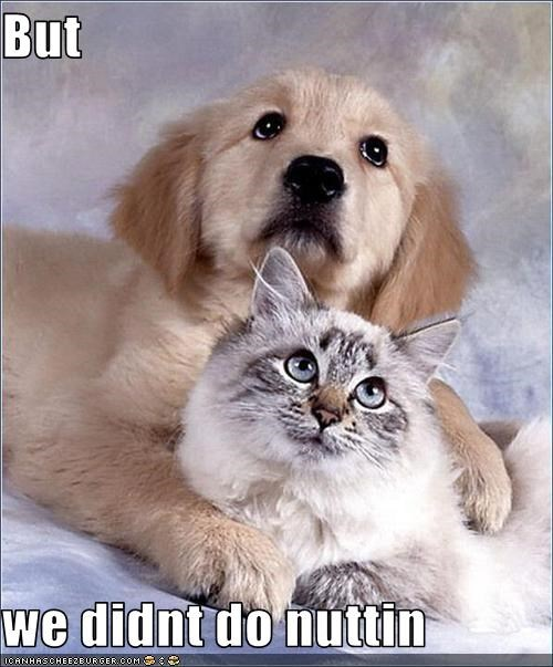 golden retriever innocent lolcats nothing posing puppy - 2593305600