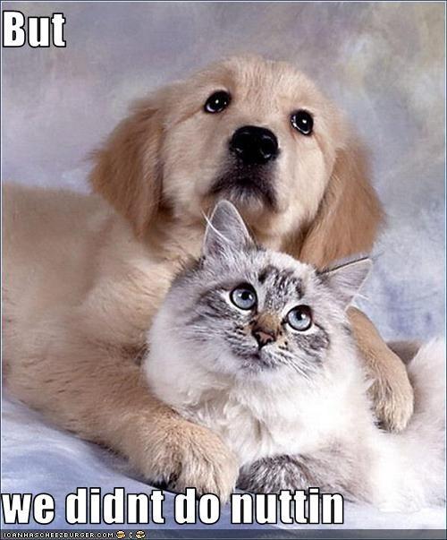 golden retriever innocent lolcats nothing posing puppy - 2593305600