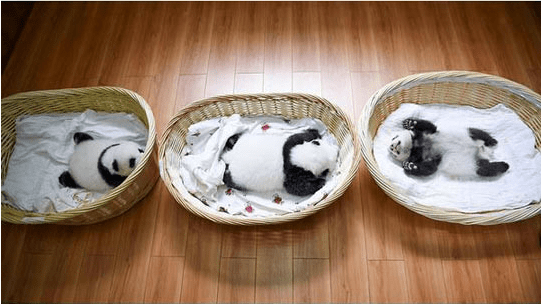A cute picture of a three baby cub pandas smiling in their beds - cover photo for a list of ten baby panda's pictures to celebrate their arrival and debut to the world