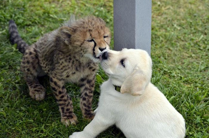 Zoos gives shy cheetahs dogs for emotional support