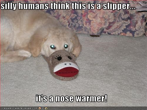 golden retriever,humans,nose,slippers,warm