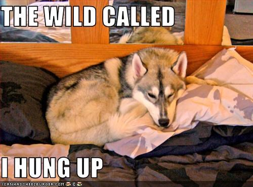 bed,call of the wild,hung up,malamute,phone,sleeping