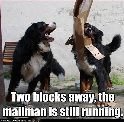 bernese mountain dog,bite,box,destroy,mailman,package,running