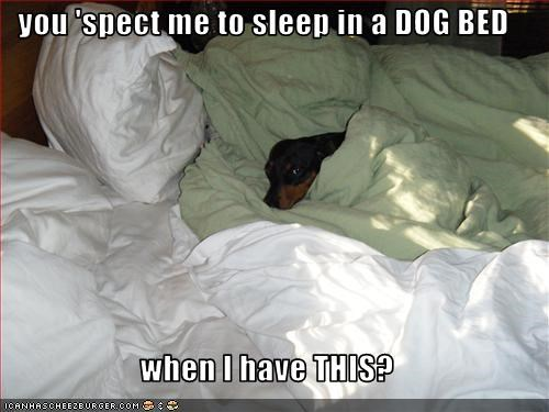 bed dachshund human sleep - 2609465344