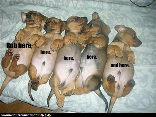 belly bellyrubs dachshund puppies rub - 2626869248