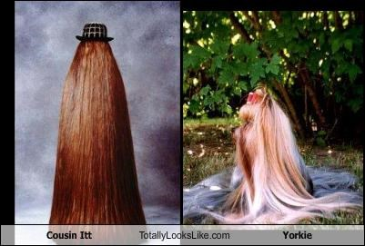 animals,cousin itt,dogs,the addams family,TV,yorkie,yorkshire terrier