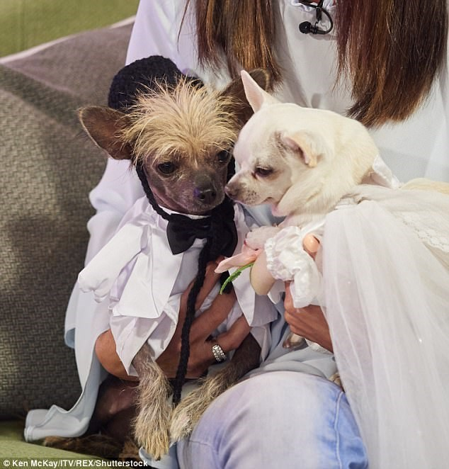 A picture of two dogs one in a wedding dress the other in a tux, cover photo for a story about a rich couple that spend 4,000 pounds on a wedding for their dogs